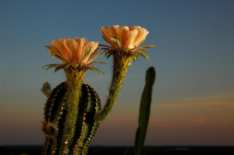 Nightblooming Cactus #2