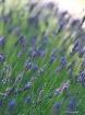 Lavender of Prove...