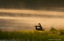 Mallards and Spring Morning Mist