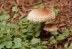 Landscape Mushroo...