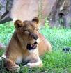 """Lion Around&..."