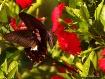 Papilio helenus a...