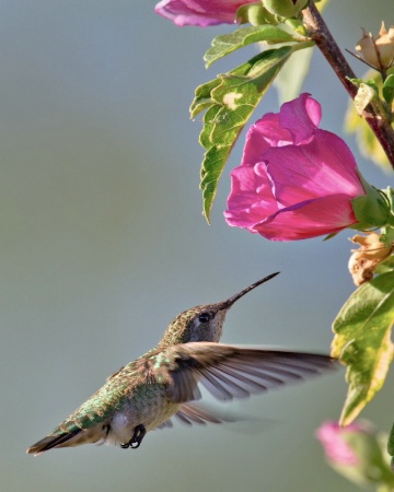 Humming Bird and Roses