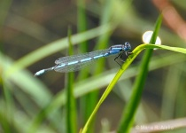 A Day in the Life of a Damselfly