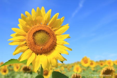 smiling-sunflower 0945