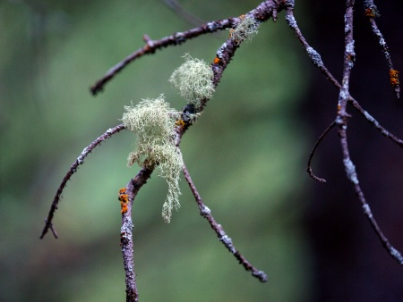 Bearded Branch