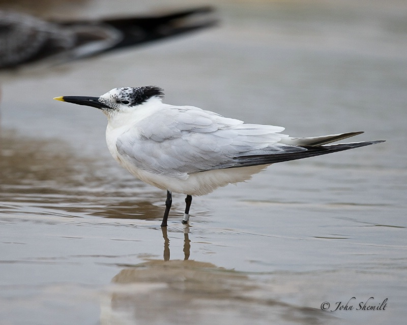 Sandwich Tern - Aug 28th, 2011 - ID: 12170216 © John Shemilt