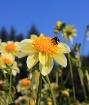 Oregon Sunshine