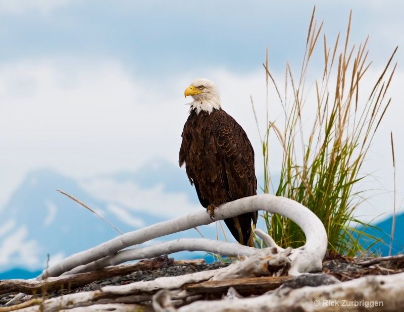 Bald Eagle on Beach in Homer  - ID: 12202310 © Rick Zurbriggen