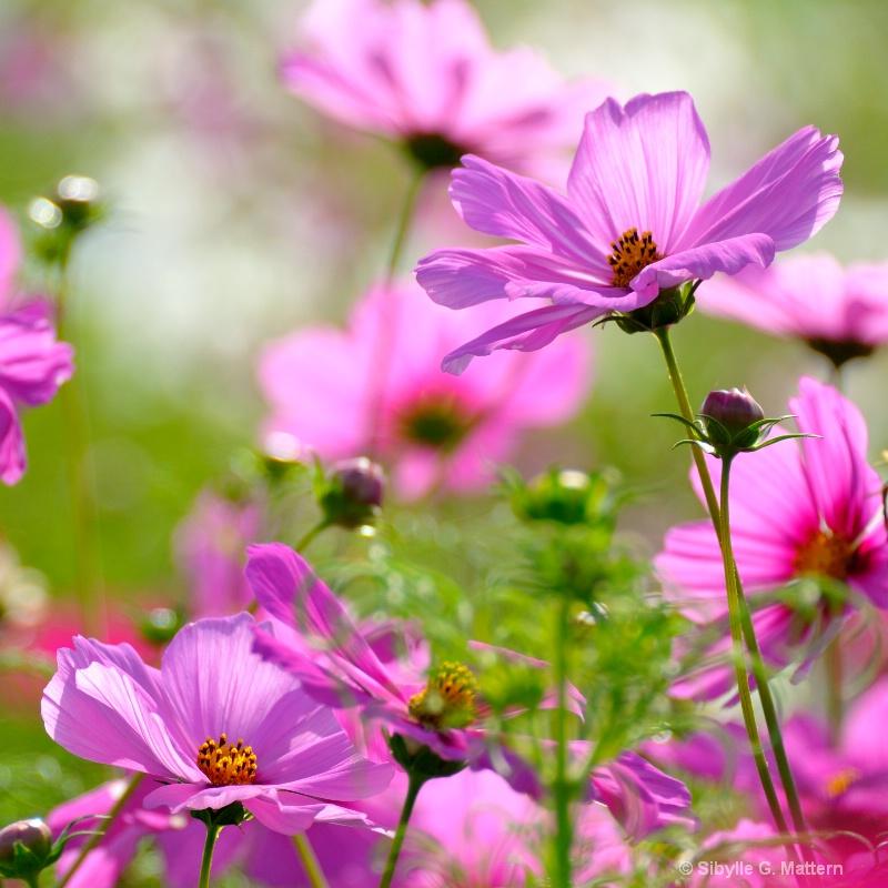 pink cosmea - ID: 12204331 © Sibylle G. Mattern