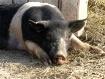 Pig at Kidwell Fa...