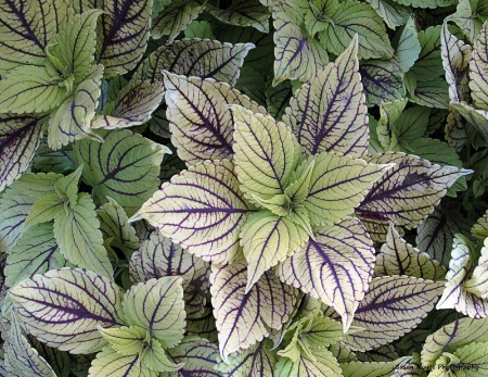 Coleus of a Different Color