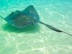 Stingray caymen i...