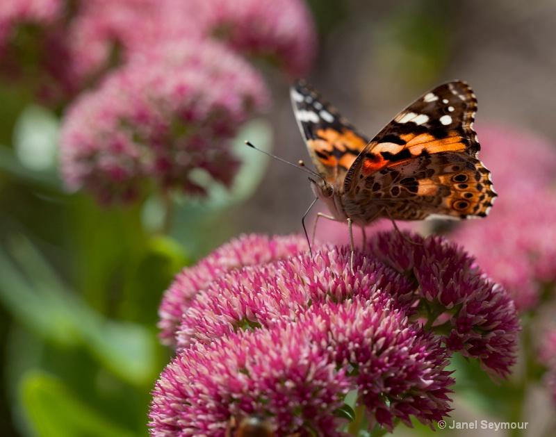 Autumn Butterfly - ID: 12240766 © Janel Seymour