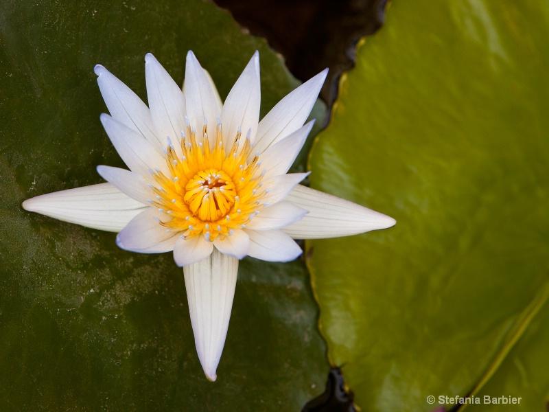 Water Lilly - ID: 12244190 © Stefania Barbier