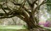 magnolia dreamsca...