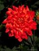 Red Dahila