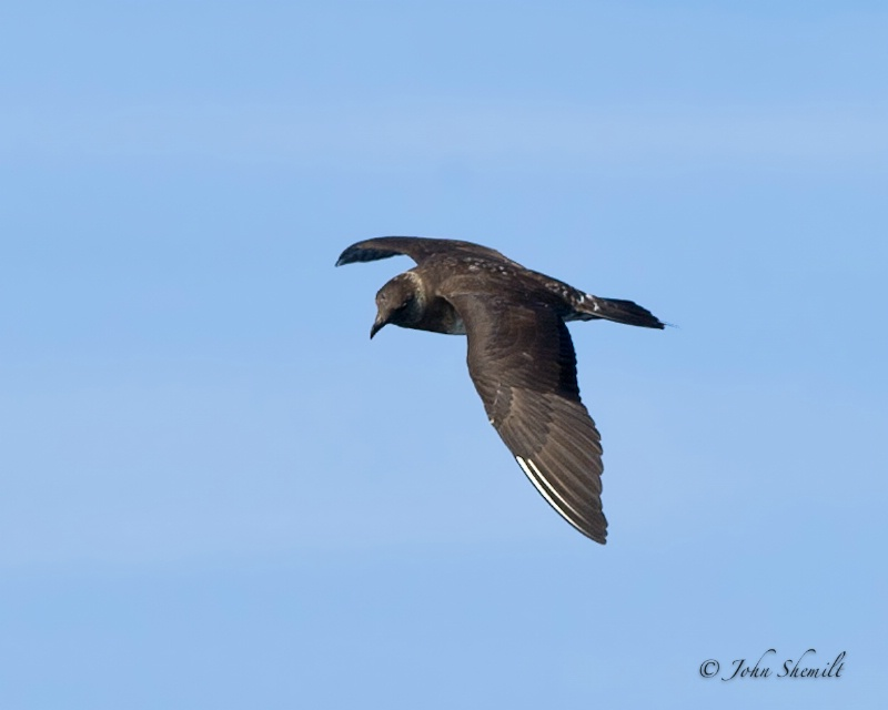 Long-tailed Jaegar - July 16th, 2011 - ID: 12263527 © John Shemilt