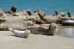 Sunbathing Seals