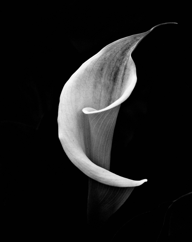 calla lily in black and white - ID: 12271327 © Dawn Miller