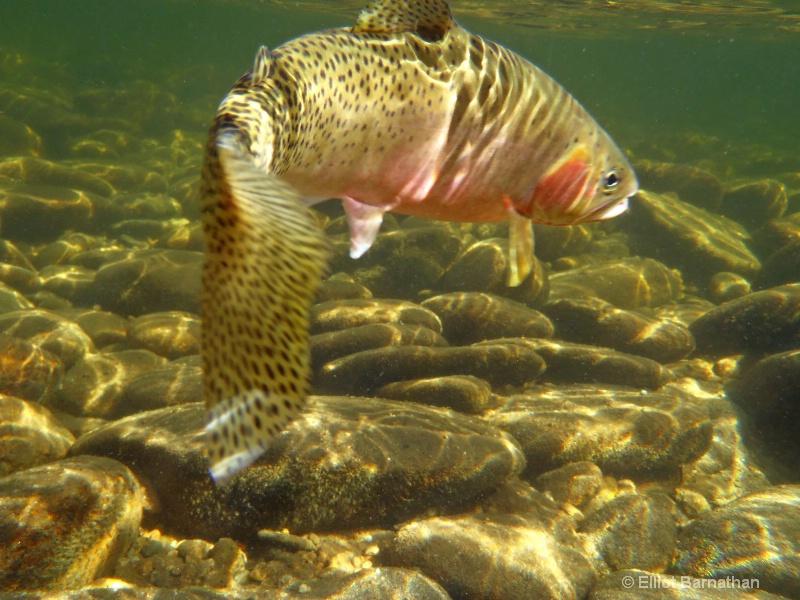 Spawning Male Cutthroat Trout 1 - ID: 12271800 © Elliot S. Barnathan