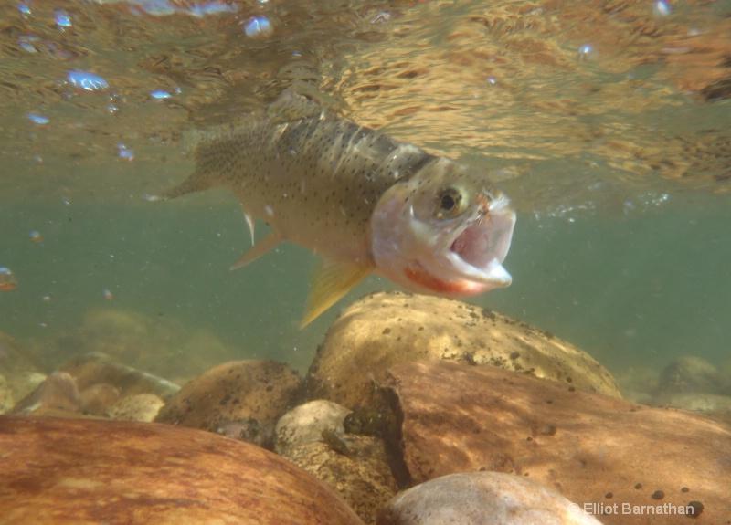 Western Cutthroat Trout 1 - ID: 12271805 © Elliot S. Barnathan