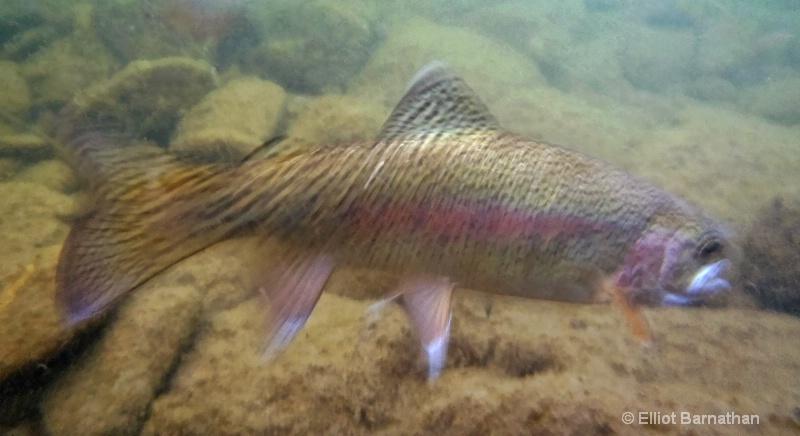 Rainbow Trout 3 - ID: 12271806 © Elliot S. Barnathan