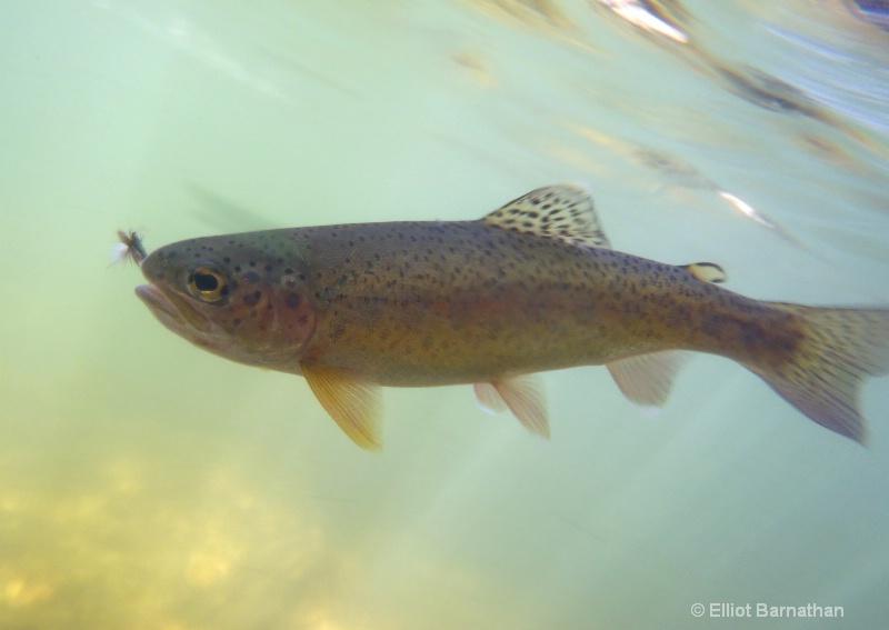 Rainbow Trout 1 - ID: 12271808 © Elliot S. Barnathan