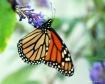 butterfly bush an...
