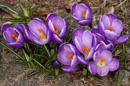 Light purple crocuses