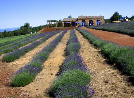 Lavender Scented Farmland