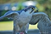 Lanner falcon (Fa...