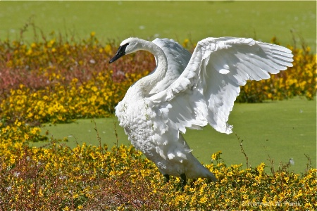 Stretching White Wings