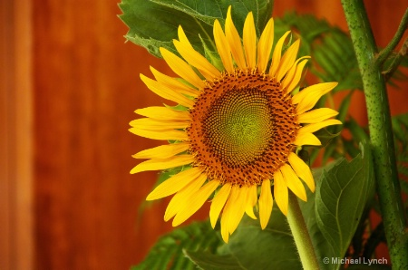 Sunflower on Stage