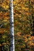 Birch Tree in the...