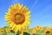 1-smiling-sunflow...