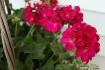 fuschia-flowerbas...