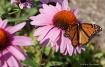 monarch-enjoys-tr...