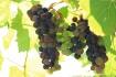 trio-of-vineyard-...