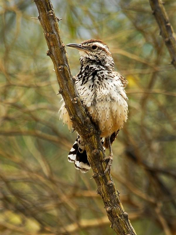 Cactus Wren   - ID: 12312559 © Kelly Pape