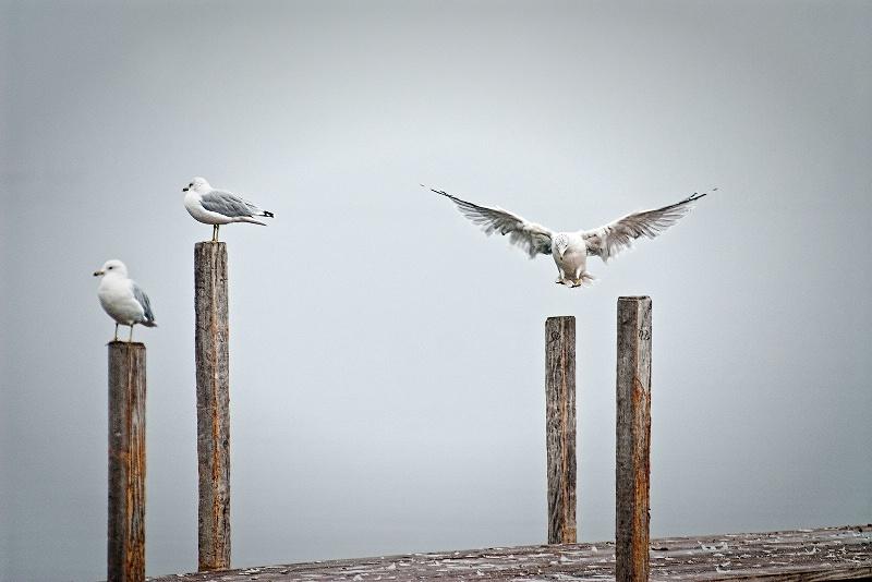 gull landing - ID: 12312841 © Ronald Balthazor
