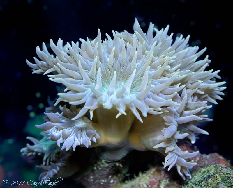 Reef Anemone - ID: 12315672 © Carol Eade
