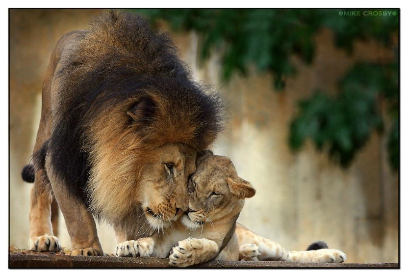 Male Lion & his cub