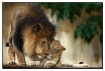 Male Lion & his c...