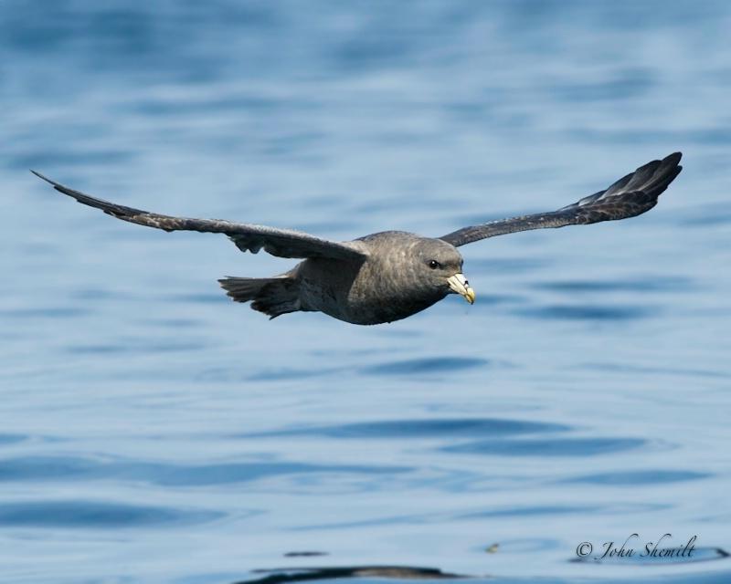 Northern Fulmar - Oct. 2nd, 2011 - ID: 12324495 © John Shemilt