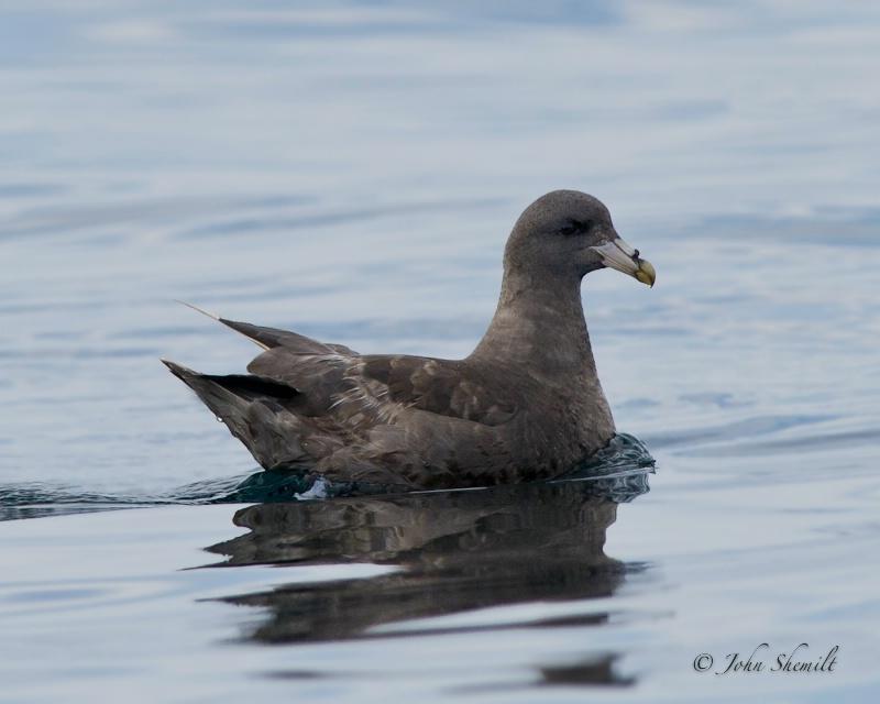 Northern Fulmar - Oct. 2nd, 2011 - ID: 12324767 © John Shemilt