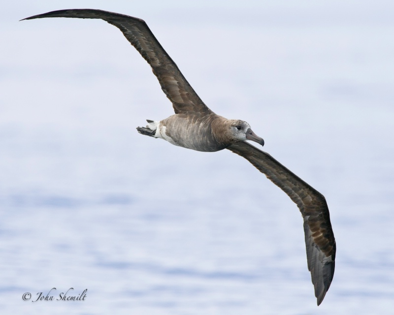 Black-footed Albatross - Oct. 2nd 2011 - ID: 12328533 © John Shemilt