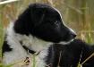Border Collie Pup...