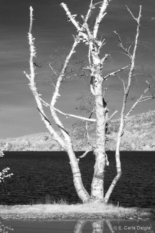 Birch Tree - ID: 12330957 © Carla Daigle