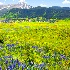 © Phil Burdick PhotoID # 12345707: Lupine  Vista